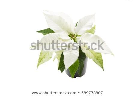White Poinsettia Stok fotoğraf © haraldmuc