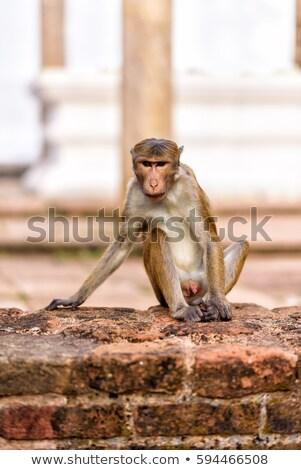 Monkeys görüntü anne gökyüzü yüz doğa Stok fotoğraf © Kirschner
