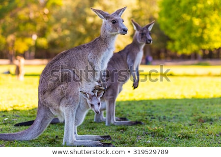 A young kangaroo Stock photo © michaklootwijk