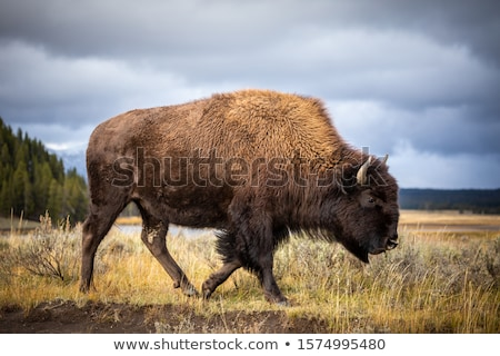 American bison Stock photo © Snapshot