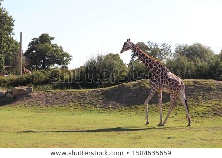 Reticulated Giraffe walking in the Savannah Stock photo © ajn