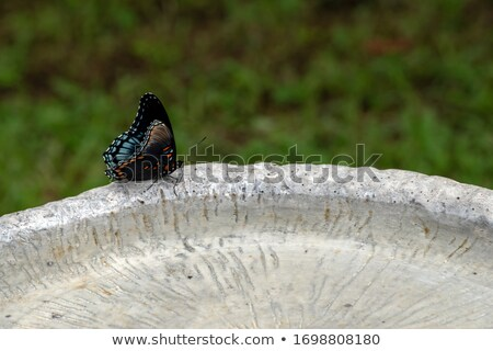 Ventral View of a Red-spotted Purple Butterfly Stock photo © ca2hill