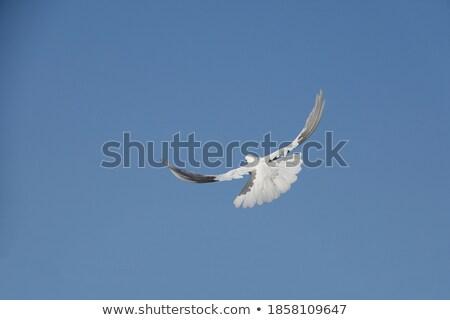 鳩 フライ 1 孤立した イースター 白 ストックフォト © Hipatia