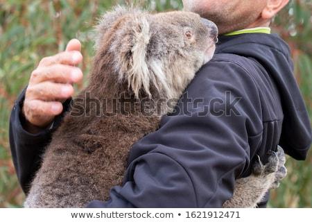 コアラ 葉 睡眠 リラックス ストックフォト © Soleil