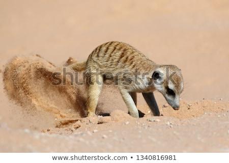 ül föld Dél-Afrika fű természet Afrika Stock fotó © dirkr
