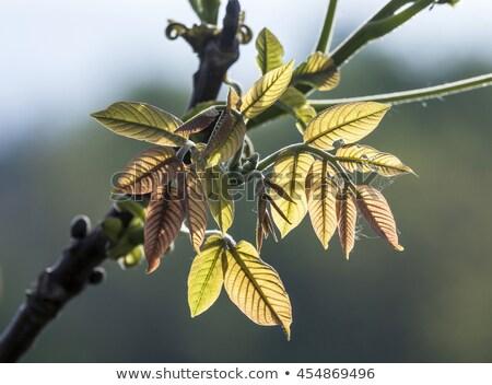 Bladeren achtergrondverlichting harmonisch najaar gevoel Stockfoto © meinzahn
