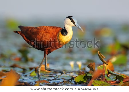 African Jacanaon the water in the Kruger. Stock photo © simoneeman
