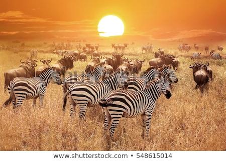 Naplemente Serengeti park fa Stock fotó © meinzahn