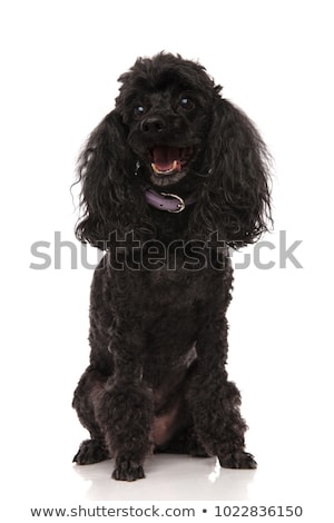 happy black poodle is panting with mouth open Stock photo © feedough