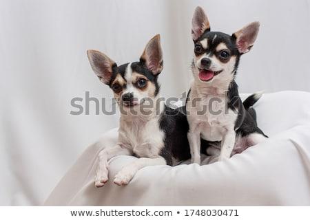 два · портрет · Cute · собаки · черный - Сток-фото © cynoclub