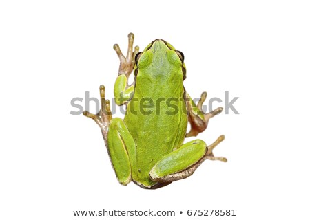 tiny green tree frog over white background Stock photo © taviphoto