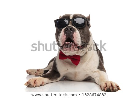 shocked gentleman american bully with sunglasses lying Stock photo © feedough