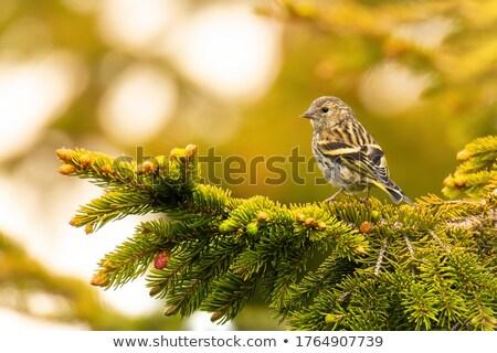 соснового небольшой конец природы птица Сток-фото © stockfrank