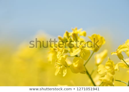 Blooming colza against blue sky Stock photo © AndreyKr