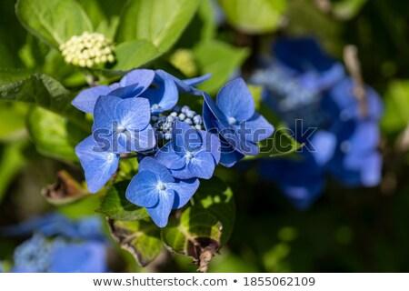 kék · közelkép · levelek · növény · virágcsokor - stock fotó © franky242
