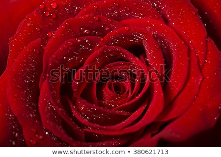 Gotas blanco Rose Red flor macro Foto stock © gorgev