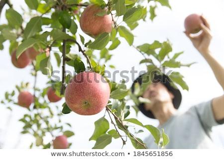 maduro · maçã · jardim · ramo · verão - foto stock © victor1978