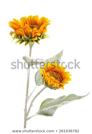 napraforgók · virágcserép · gyönyörű · virágcsokor · izolált · fehér - stock fotó © saddako2