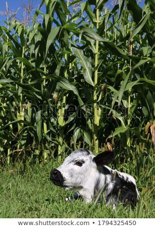 Holstein Bull in a Corn Field Stock photo © rhamm
