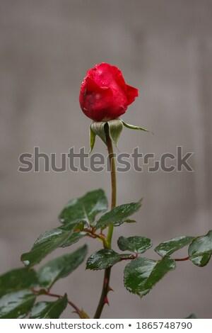 Foto stock: Rose · Red · brote · hojas · verdes · gotas · aumentó · hoja