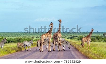食べ · キリン · 公園 · 南アフリカ · 空 · アフリカ - ストックフォト © compuinfoto