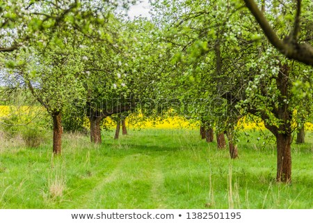 Path leads through a field of yellow oilseed rape Stock photo © sarahdoow