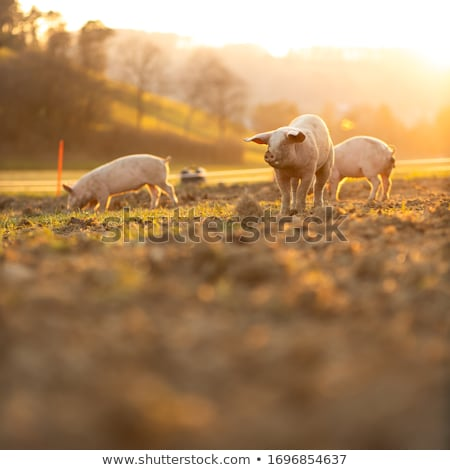 Sow Pig Stock photo © rghenry