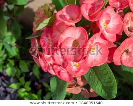 Poi rosa flores Pascua primavera Foto stock © punsayaporn