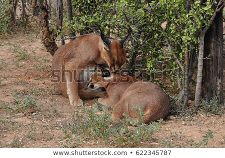 Caracal or African Lynx Grooming Stock photo © fouroaks