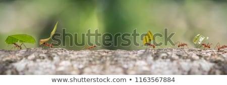 Ant foglia colorato cartoon illustrazione vettore Foto d'archivio © derocz