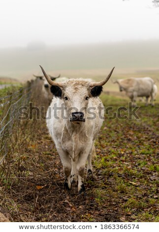 biały · parku · krowy · rzadki · bydła - zdjęcia stock © rekemp