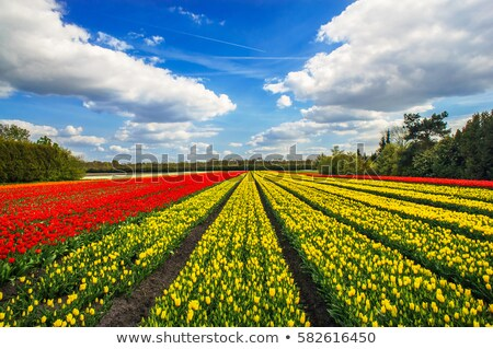 Rows of nice  purple tulips in the field. Netherlands. Stock photo © lypnyk2