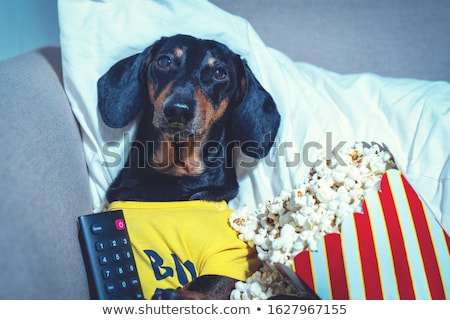 Dachshund watching Stock photo © vauvau