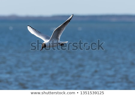 black headed gull in flight over water Stock photo © taviphoto