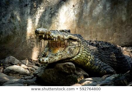 vad · krokodil · szem · természet · háttér · Afrika - stock fotó © simoneeman