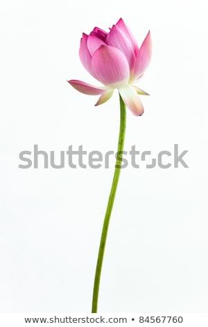 National Symbol of India. Lotus Flower Isolated Stock photo © robuart