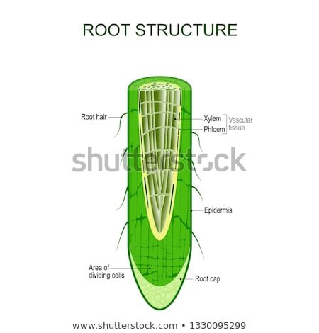 Hair Roots Cross Section Stock photo © albund