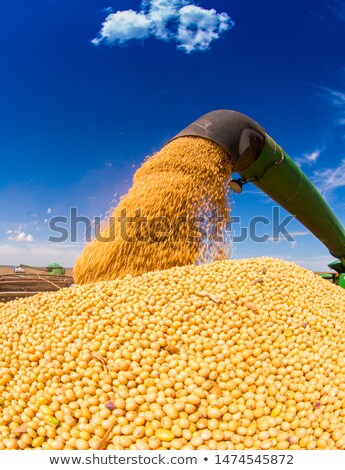 Mezőgazdasági szójabab mező meleg naplemente fény Stock fotó © stevanovicigor