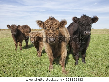 young galloway cow Stock photo © compuinfoto