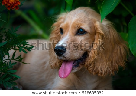 mooie · jonge · portret · bruin · Engels · hond - stockfoto © hsfelix