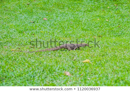 Varanus lizard in the foreground on the grass Stock fotó © galitskaya