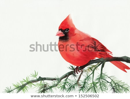 red cardinal bird watercolor  cardinalis cardinalis stock photo © shawlinmohd