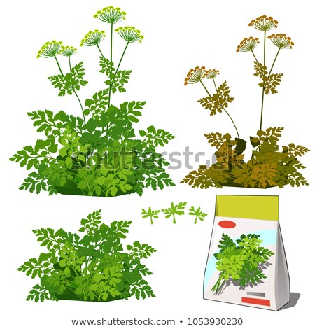 Set of stages of life of a agricultural plant parsley isolated on white background. Paper packaging  Stock photo © Lady-Luck