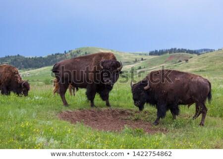 Buffalo fights Stock photo © joyr