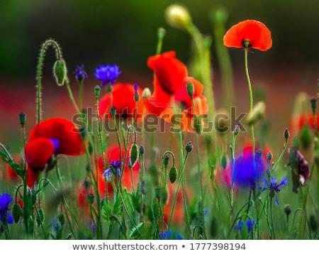 rojo · maíz · amapola · flores · campo · cielo - foto stock © nailiaschwarz