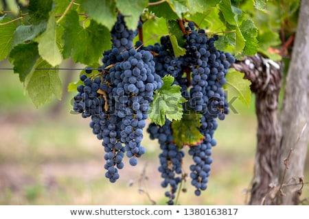 Stock photo: Merlot grapes on grapevine