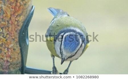 Bullfinch, Goldfinch,Greenfinch on feeder stock photo © suerob