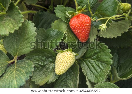 One green, unripe and pair of ripe red strawberries stock photo © digitalr