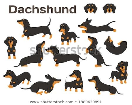 Dachshund perro pelo blanco animales corte Foto stock © leungchopan