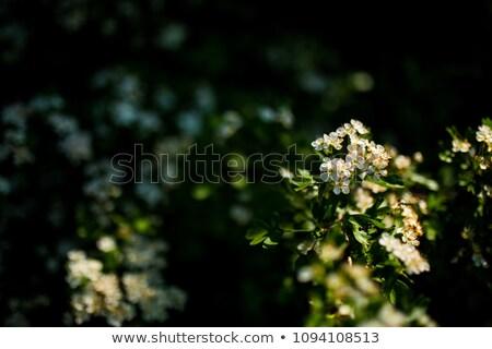 リンゴ園 フルーツ ピッキング リンゴ ファーム ストックフォト © skylight